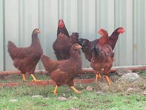 Young Rhode Island Red Rooster Axedale Bendigo Surrounds Preview