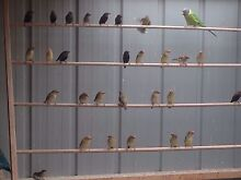 Finches for sale Toongabbie Latrobe Valley Preview