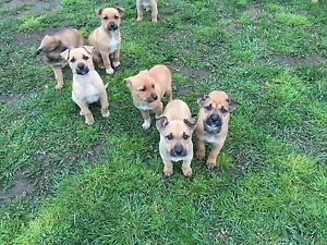 Cute puppy's Avoca Northern Midlands Preview