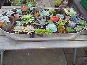Succulent plant garden centrepiece Bidwill Blacktown Area Preview
