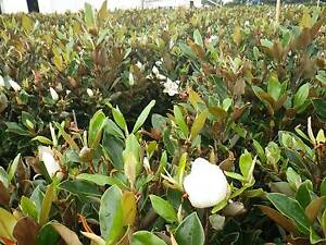 Magnolia Little Gem grower direct perth shrub tree Darch Wanneroo Area Preview