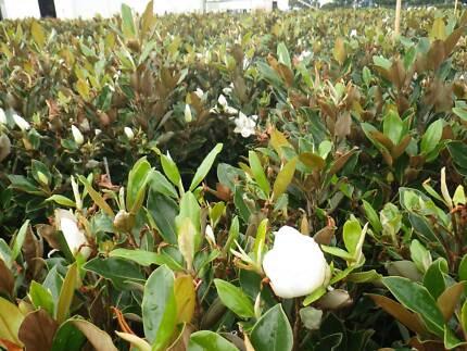 Magnolia Little Gem grower direct perth shrub tree