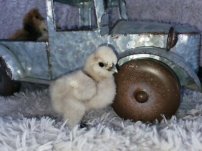 3 Mini Silkie Frizzle Sizzle And Satin Hatching Eggs