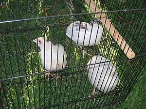 pair of Japanese white quail Holden Hill Tea Tree Gully Area Preview
