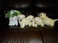 West Highland White Terrier quality breed puppies,Registered Ipswich Ipswich City Preview