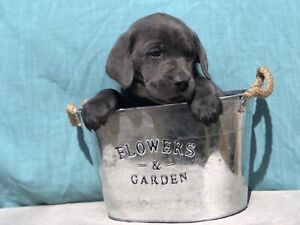 Purebred Charcoal and Silver Labrador Puppies For Sale
