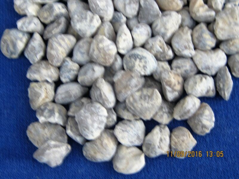 LOT OF 100 FOSSIL MINI BABY  BRACHIOPODS
