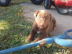 Red kelpie pup sold Cummins Lower Eyre Peninsula Preview