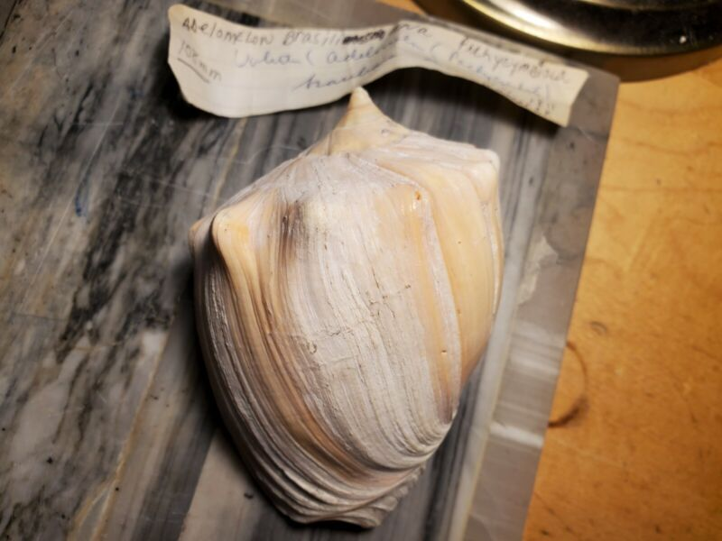 Adelomelon (pachycymbiola) brasiliana, 108 x 75mm, Lamarck 1811, Nice!