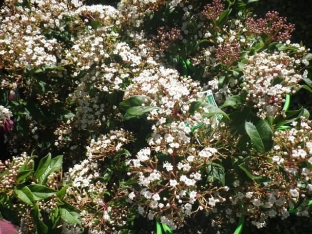 viburnum tinus grower direct perth shrub tree plants gumtree australia swan area midland