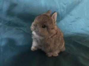 Purebred pedigreed Netherland dwarf rabbits