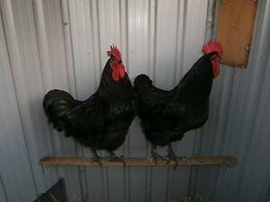 Australorp Roosters Large Black purebreed chickens Hamley Bridge Wakefield Area Preview