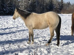Two months pro training, mare, AQHA