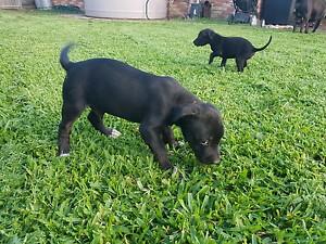 Bullmastiff X ridgeback X staffy Caboolture South Caboolture Area Preview