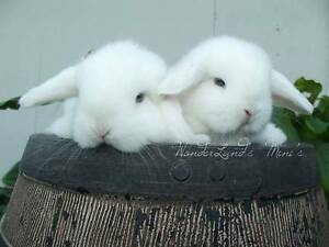 <{FOR SALE}> Pure Bred Miniature Lop 2 BEW Doe's Left Cundletown Greater Taree Area Preview