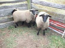 Lambs, desexed 4 fat male lambs Sawyers Gully Cessnock Area Preview