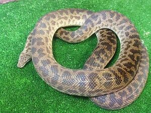 Adult Spotted Python Mentone Kingston Area Preview