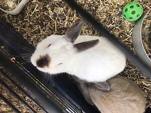 White male bunny desexed Coobowie Yorke Peninsula Preview