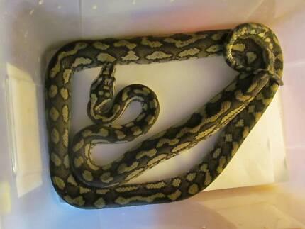 Female Atherton Tablelands Jungle Python Gympie Gympie Area Preview
