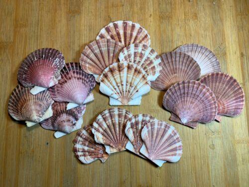 """Large Scallop Shell Assortment 3"""" Beach Craft Flat Pecten Seashells"""