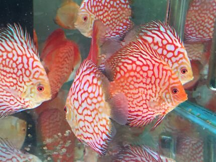 High Quality Discus Fish - NEW SHIPMENT HAS ARRIVED TODAY-WOW Como South Perth Area Preview