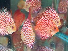 High Quality Discus Fish - NEW SHIPMENT- Specials this week only Como South Perth Area Preview