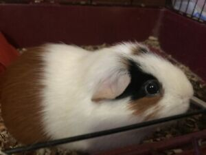 Guinea Pig Kijiji In Ontario Buy Sell Amp Save With