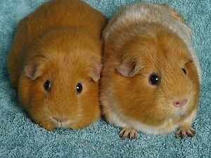 Guinea Pigs for sale. Adult Female Pair. Good home only. Lower Plenty Banyule Area Preview