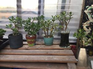 Jade bonsai plants for sale starting at $10