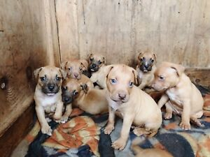Staffy's for Sale. Under 10 weeks old.