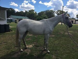 ASH Grey Mare Kingstown Uralla Area Preview
