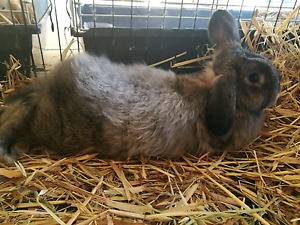 Agouti french lop doe Butler Wanneroo Area Preview