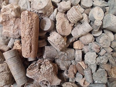 1 LB Lot Crinoid COLLECTOR Rock Fossil Discover UNIQUE Specimen RARE DISPLAY USA