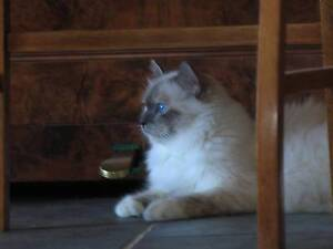 Birman Show Cat Retired Female Murrumbateman Yass Valley Preview