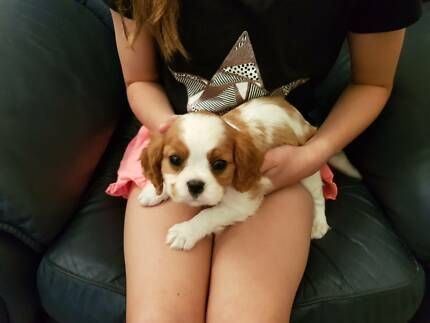 Gorgeous Purebred Cavalier Puppies