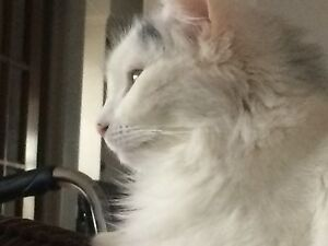 White maincoon fixedfemaile catFree to a great home