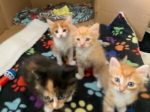 Free ginger kittens ( only have the two orange left)