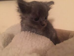 Kitten For Sale Rossmoyne Canning Area Preview