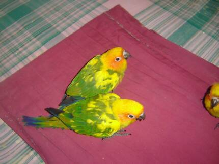 sun conures for sale, Great Father day Gift Sunnybank Hills Brisbane South West Preview