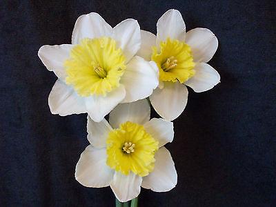 25 Narcissus