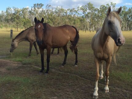 Tb broodmares for sale... Toogoolawah Somerset Area Preview