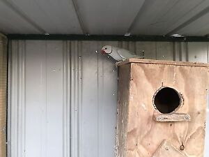 INDIAN RINGNECK PARROT Seabrook Hobsons Bay Area Preview