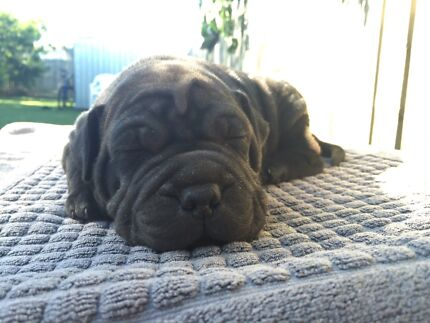 Staffy x Shar pei Puppies! Redcliffe Redcliffe Area Preview
