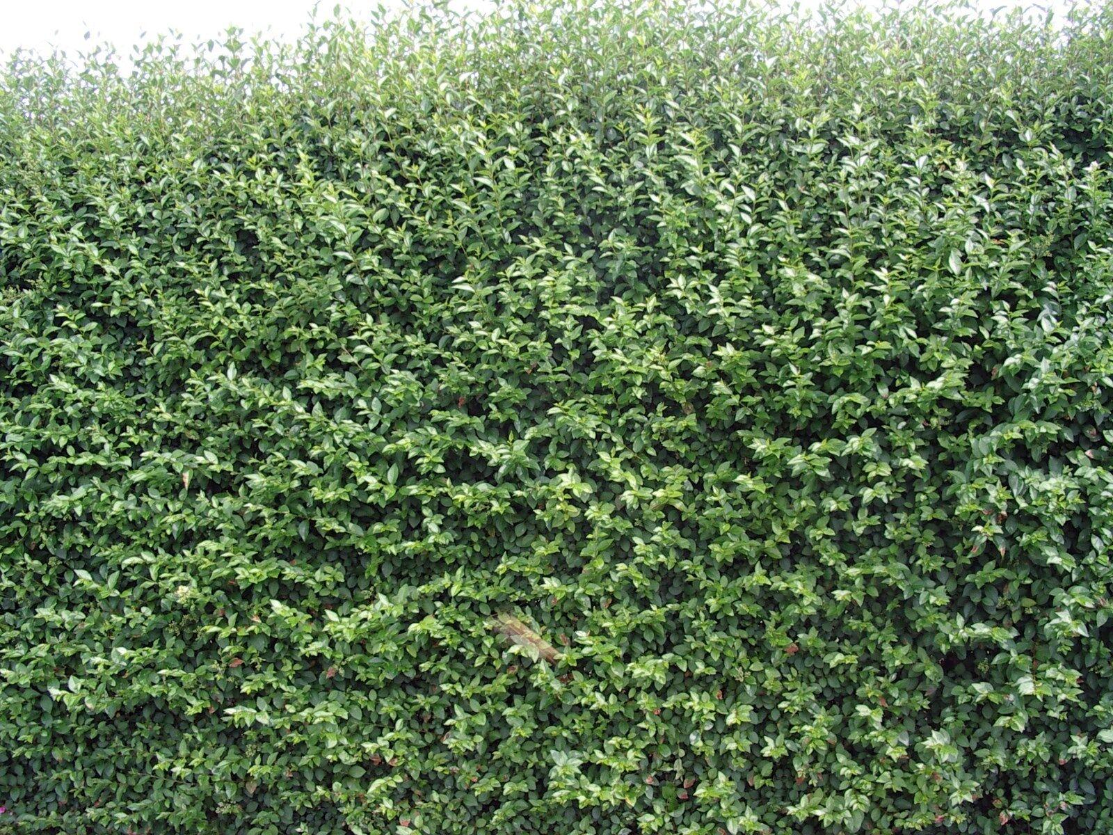 10 green privet hedging plants ligustrum hedge 40 60cm. Black Bedroom Furniture Sets. Home Design Ideas