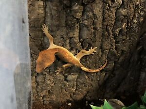 Two crested geckos and tank