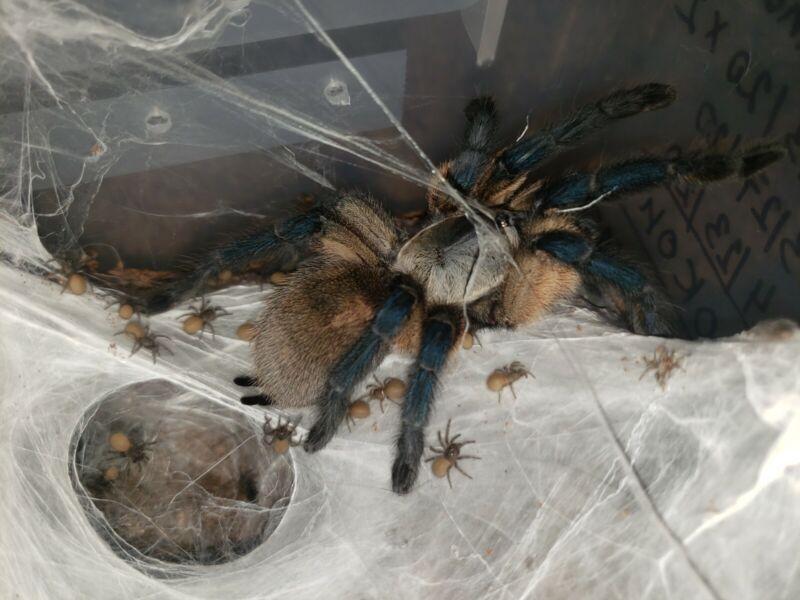 """Monocentropus Balfouri 0.5"""" communal slings tarantula / tarantulas / spider"""