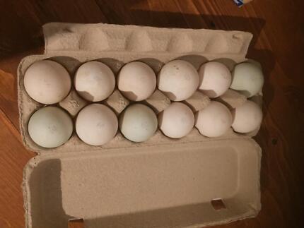 Indian Runner Duck Fertile Eggs
