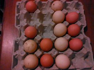 Fertile duck and chicken eggs Guildford Parramatta Area Preview