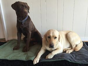 gorgeous labrador puppies. well bred. Deniliquin Murray Area Preview