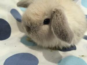 PURE baby mini LOPS WITH CASHMERE AND PURE tiny baby NETHERLANDS. :)) Burnside Melton Area Preview